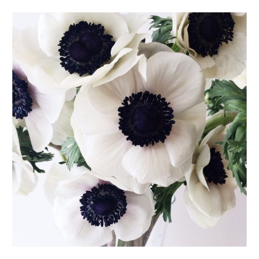 Anemony/Zawilce Cudowne zimowe kwiaty, delikatne, jednocześnie trwałe. Występują w wielu kolorach, mogą nawet zastąpić maki w białe, zimowe miesiące. W mowie kwiatów to Oczekiwanie/Przewidywanie/Wielkie nadzieje – i dobrze mieć je w swoim bukiecie :)